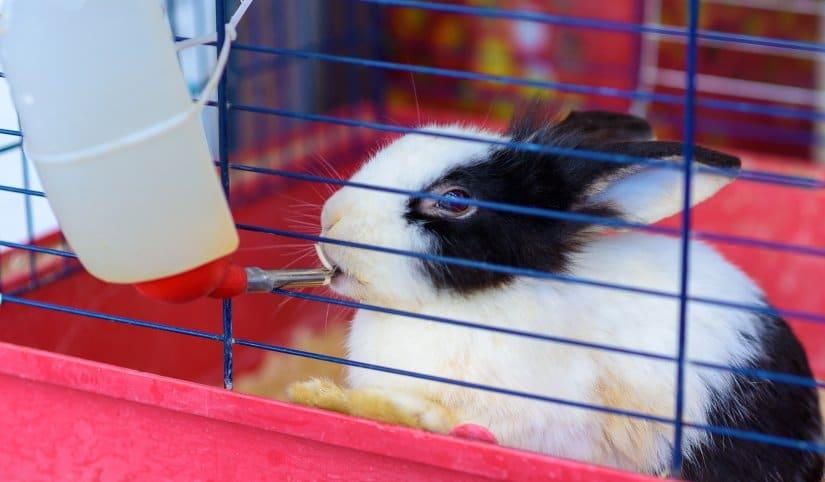 Rabbit drinking water from feeding water bottle
