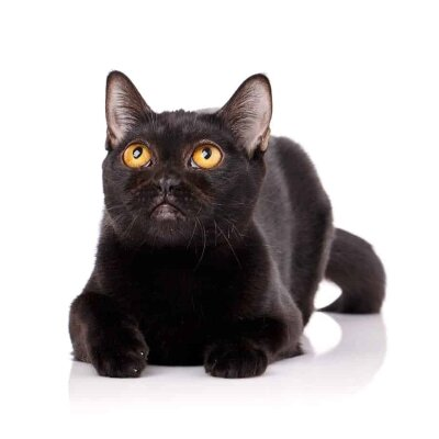 Elegant bombay cat