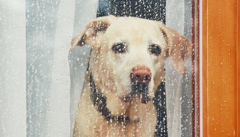 Labrador retriever waiting alone at home.