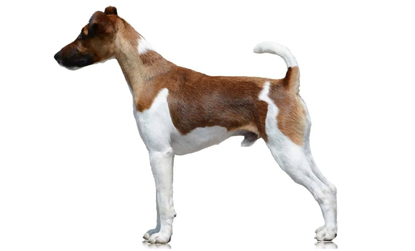 Terrier in profile