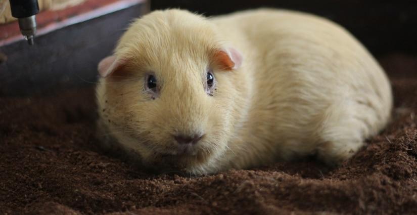 Guinea pig on fleece