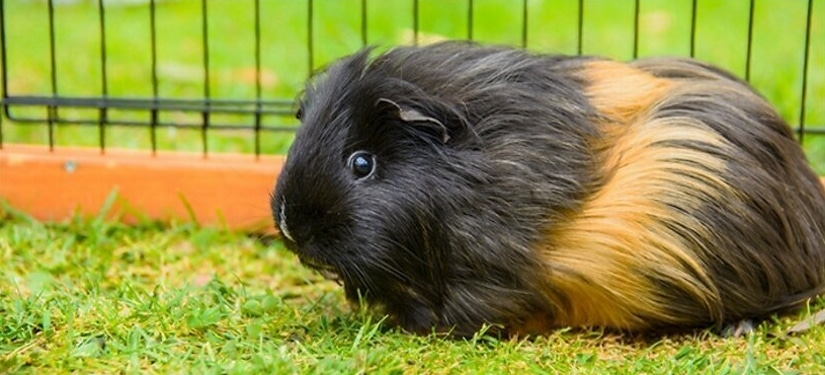 Guinea pig in home