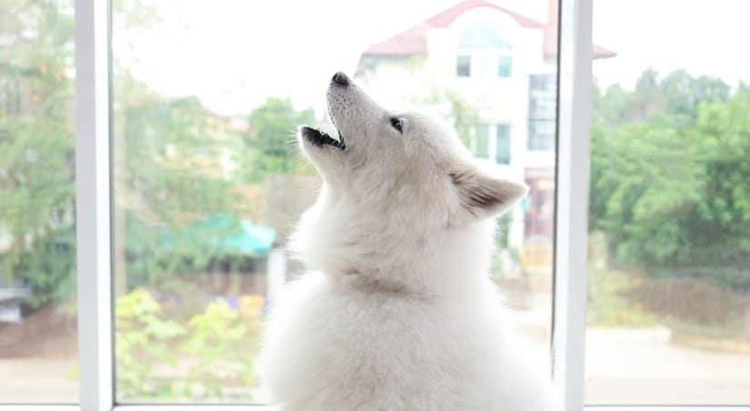 Samoyed howling