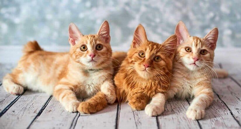 American Bobtail Kittens