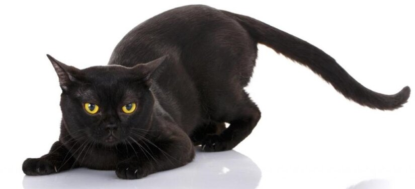 Bombay Cat Lie