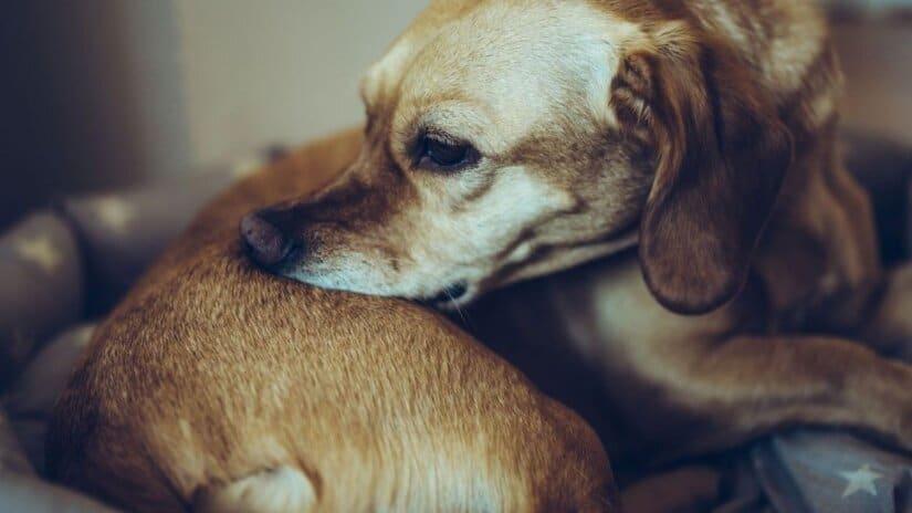 Dogs Flea Collar