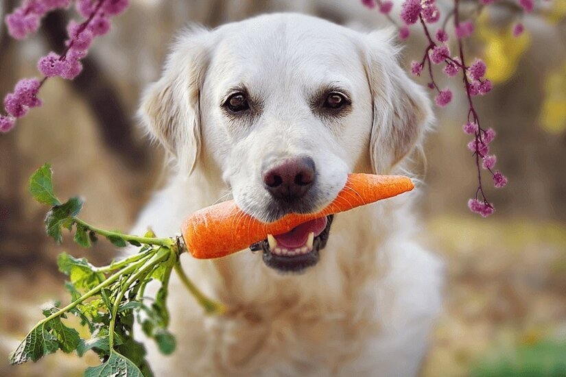 Dog eats carrot