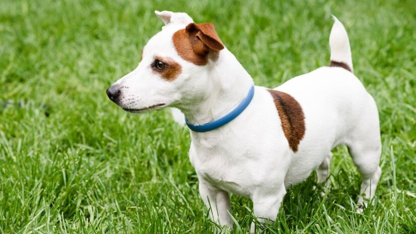 Dogs Flea Collar on Russel