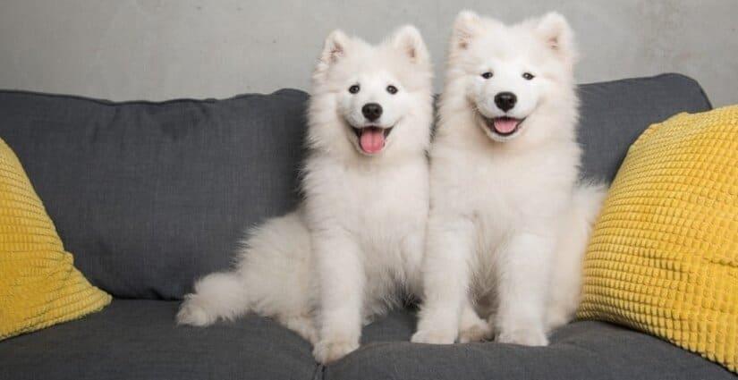 Two Samoyed Puppies