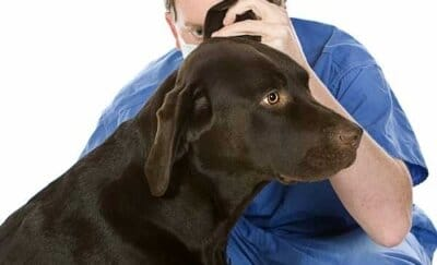 Vet check dog's ear